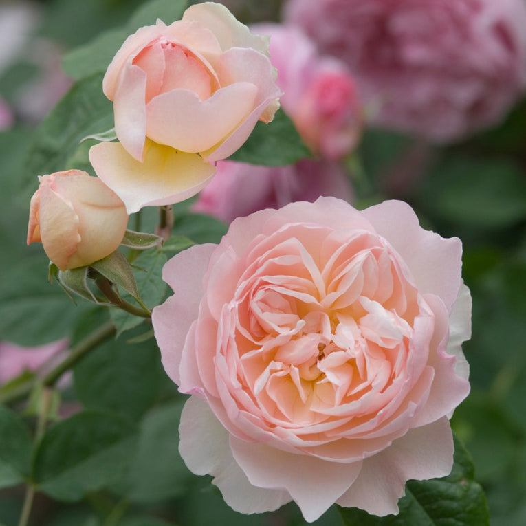 David Austin Rose Gentle Hermione, pink flower