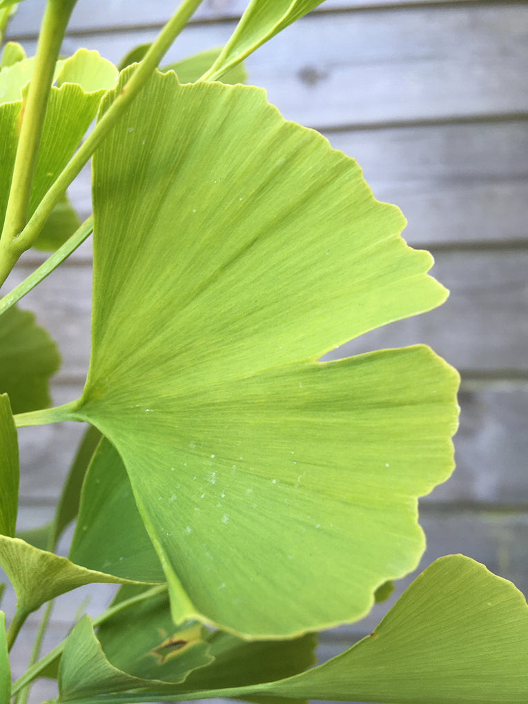 Gingko Bilboa 'Finger'