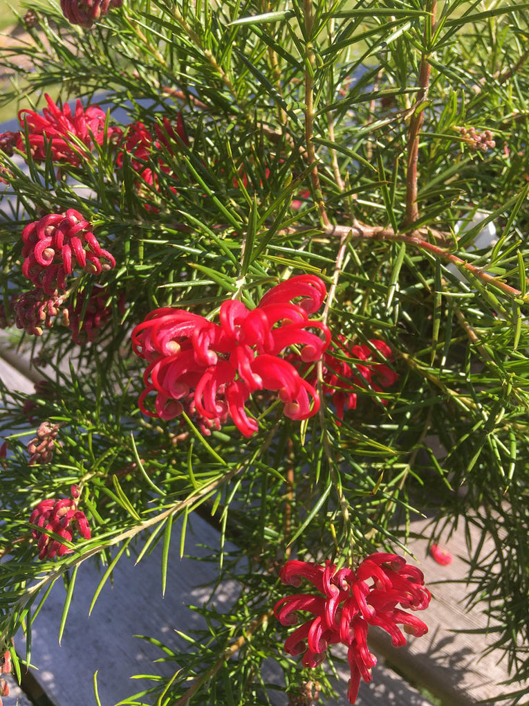 Grevillea Juniperina, red flower