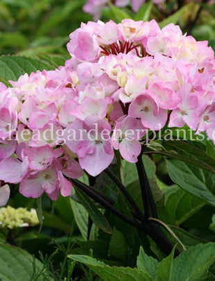 Hydrangea macrophylla 'Nigra'. pink and white flowers