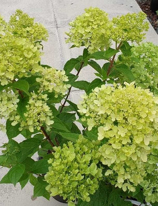 Hydrangea Paniculata 'Little Lime', green flowers