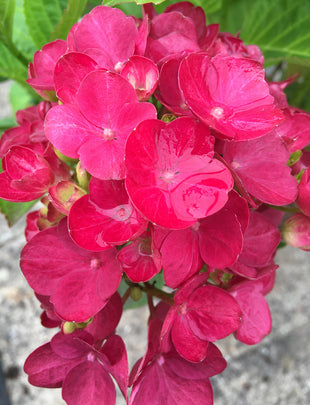 Hydrangea macrophylla - Red, red flowers