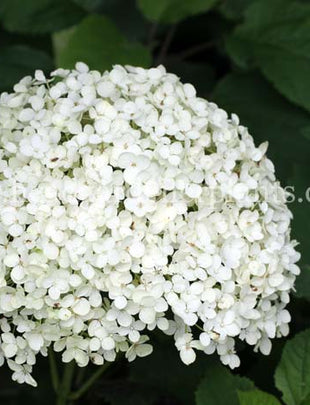 绣球'Annabelle', white flowers 华彩官网