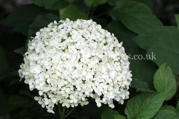 绣球'Annabelle', white flowers