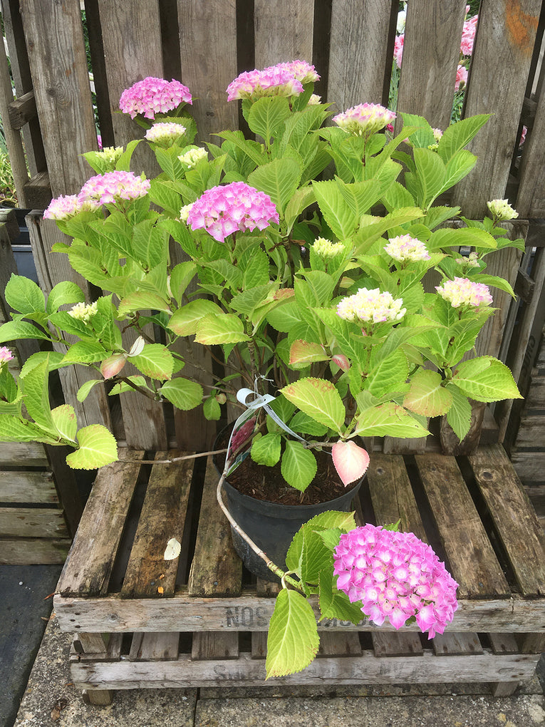 Hydrangea macrophylla - Pink, pink and white flowers