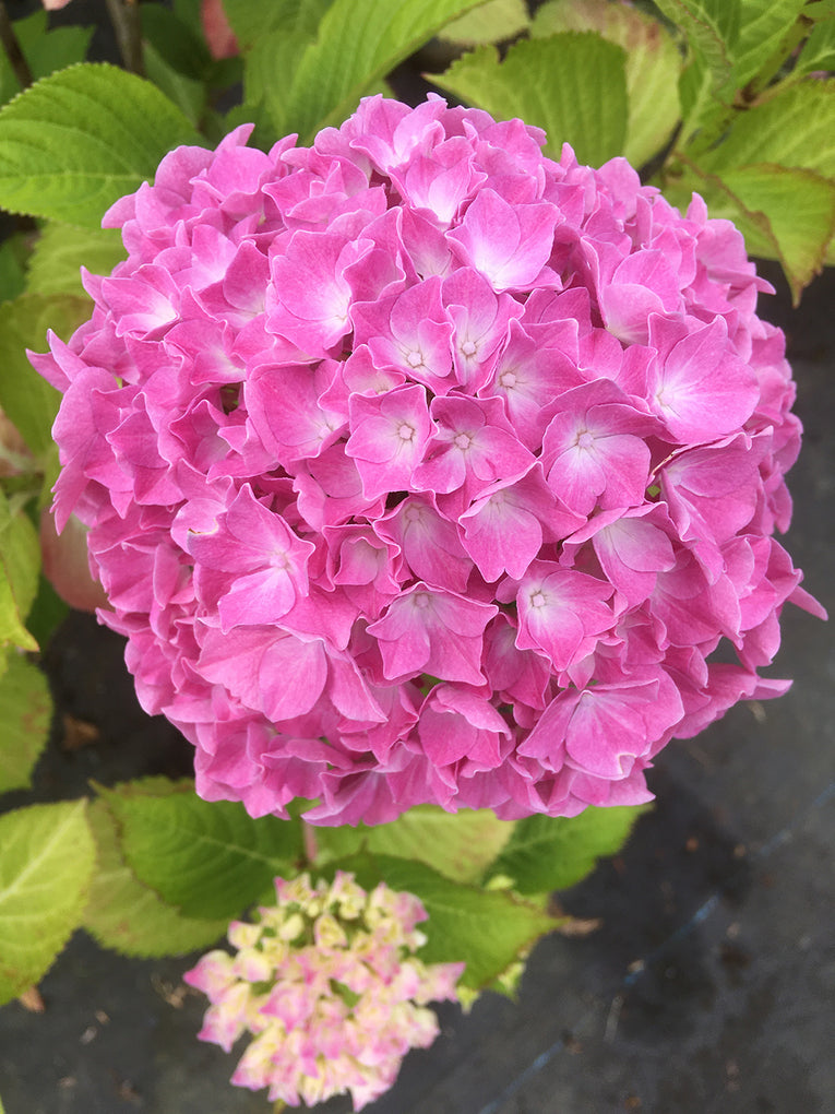 Hydrangea macrophylla - Pink and white flowers