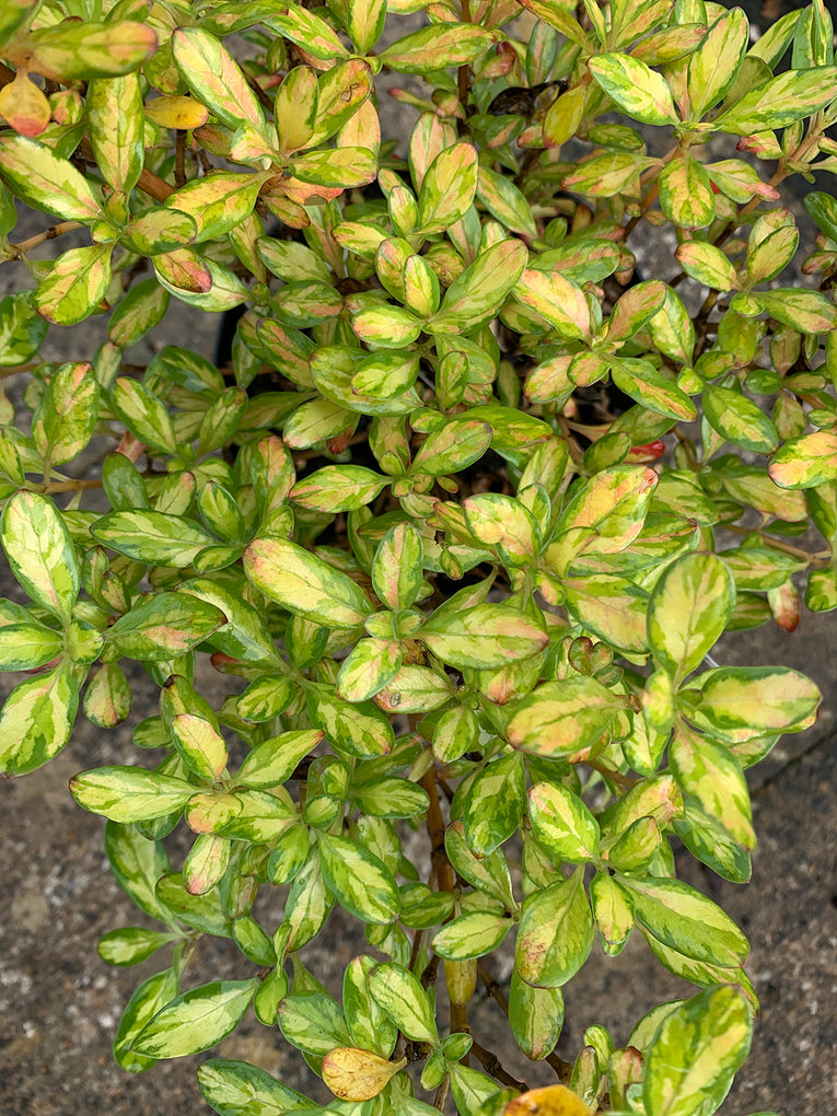 Coprosma 'Lemon and Lime', green and yellow leaves