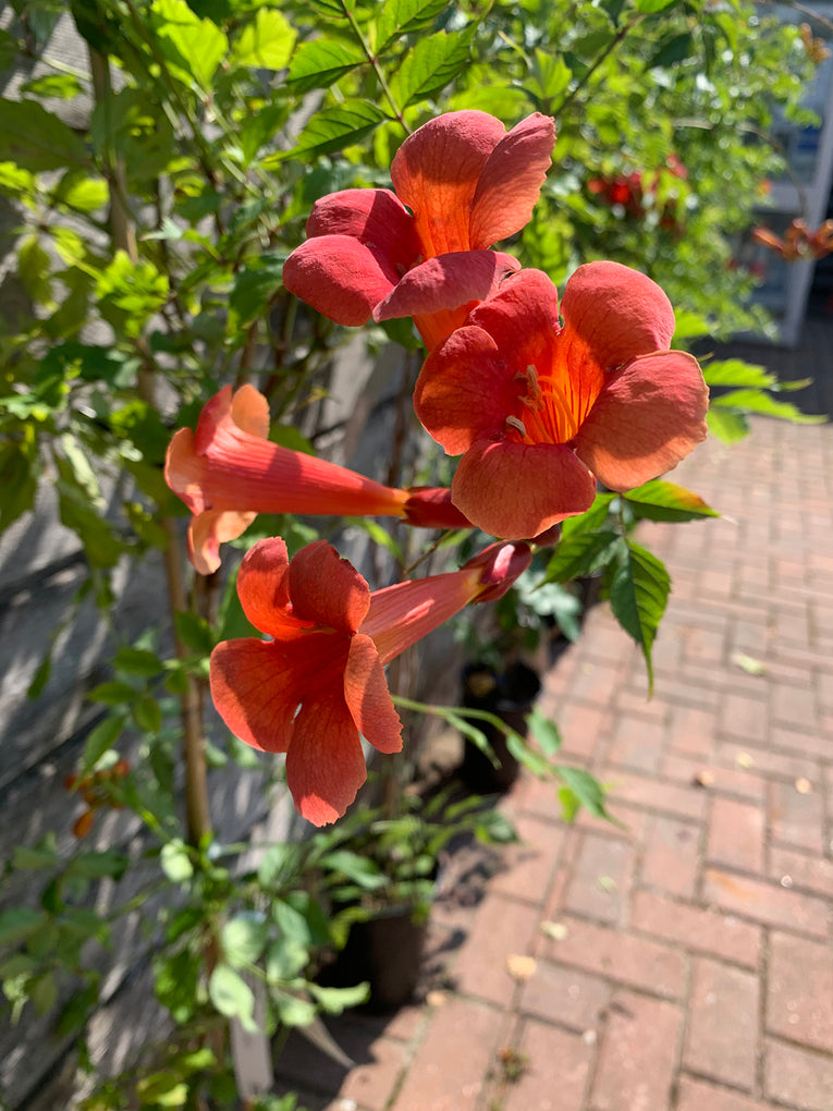 Campsis Radican 'Flamenco', red flower