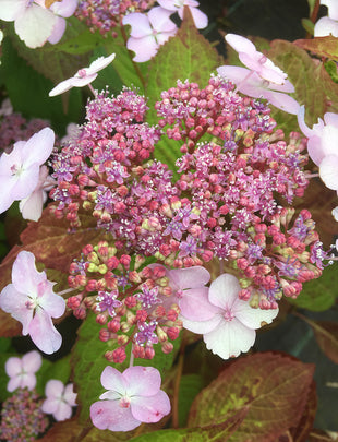 Hydrangea serrata 'Bluebird', pink and white flowers