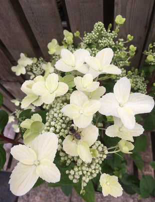 Hydrangea paniculata 'Wims Red', white flowers