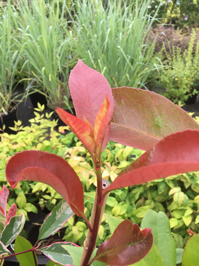 Photinia 'Red Robin', tree, shrub, evergreen or deciduous