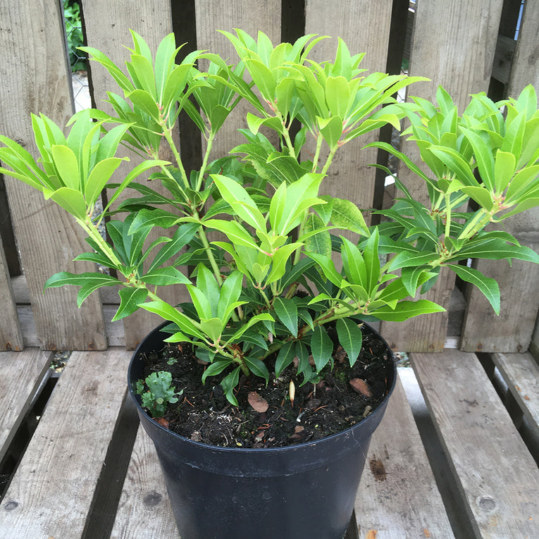 Pieris Japonica 'Forest Flame', evergreen shrub, bright red leaves