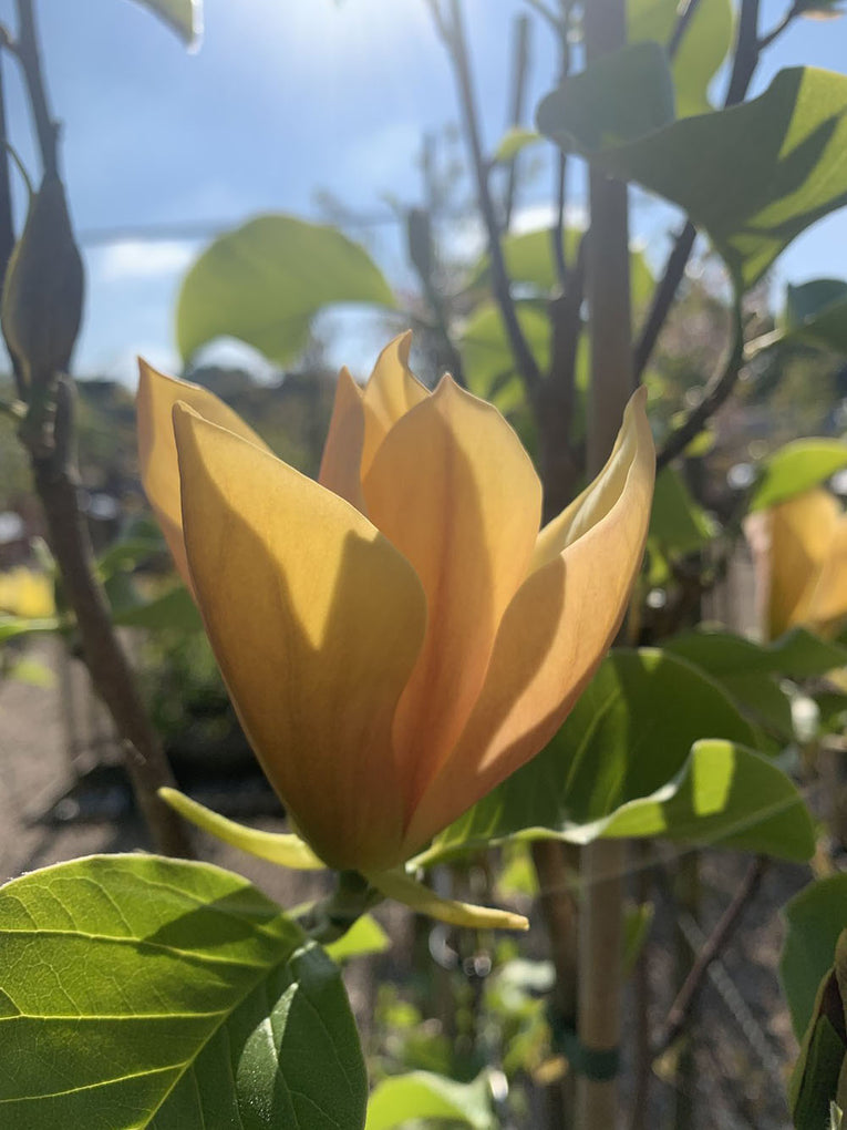 Magnolia 'Judy Zuk', yellow flowers
