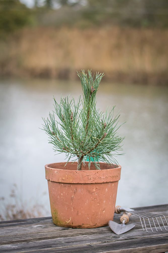 Pinus sylvestris 'Chantry Blue'