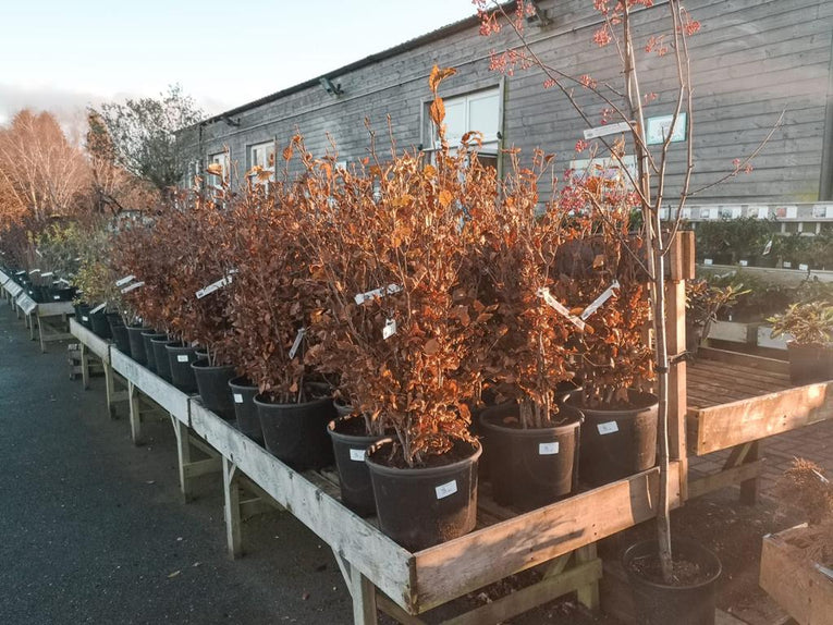 Privat Bare-Root Hedging (Ligustrum Vulgare)