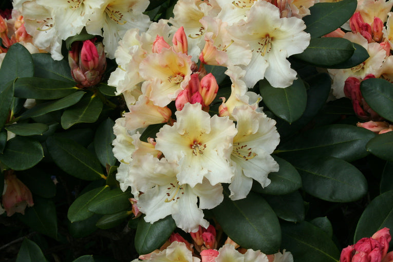 Rhododendron Horizon Monarch, yellow flowers