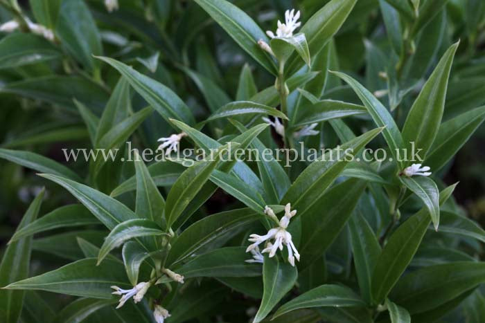 Sarcococca ruscifolia var. chinensis Dragon Gate, white flowers