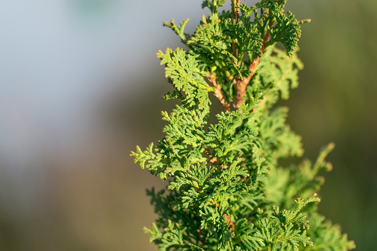 Thuja occidentalis 'Degroots Spire'