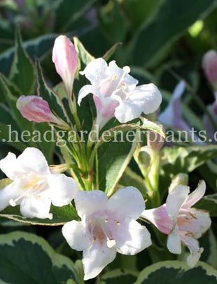 Weigela Florida Variegata, pink and white flowers