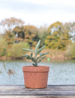 Frosty- Abies koreana A 3 Litre Abies