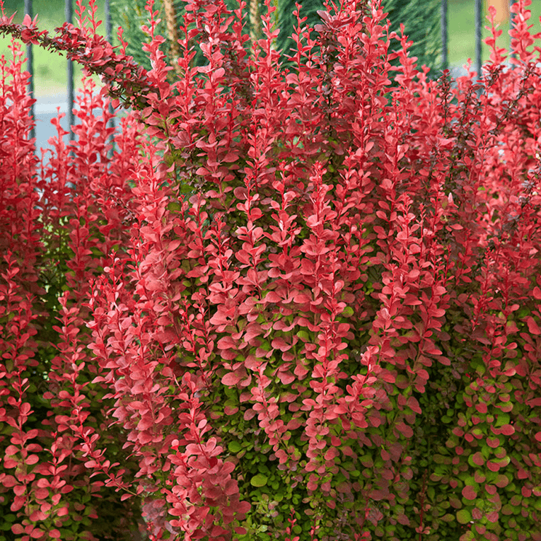 Berberis 'Orange Rocket', shrub, orange and red colours