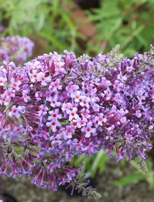 Buddleja Longstock Gem, fragrant purple floewrs