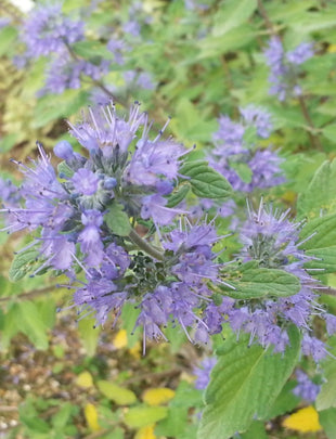 Caryopteris 'Delft Blue', blue flowers