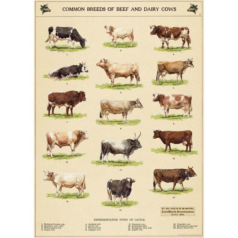 Cow Chart Wrapping Paper or Poster
