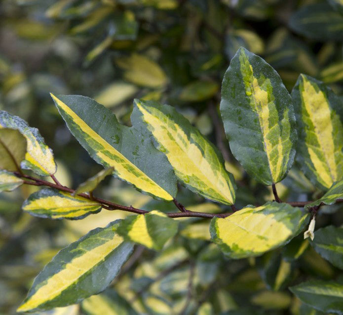 Elaeagnus Pungens Maculata, shrub, green and yellow leaves