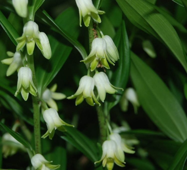 Disporopsis Pernyi, evergreen, white fragrant flowers