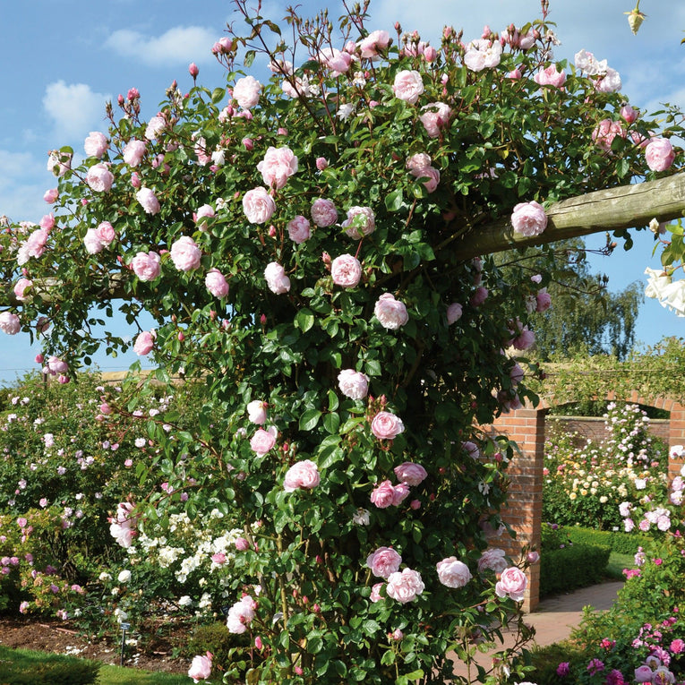 David Austin Rose The Generous Gardener - English Climbing Rose, soft pink flower