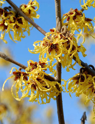 Hamamelis Interm 'Arnold Promise', fragrant yellow flowers