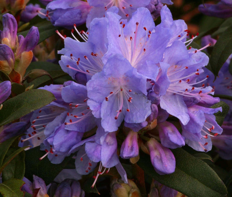 Rhododendron Blue Tit, blue flowers