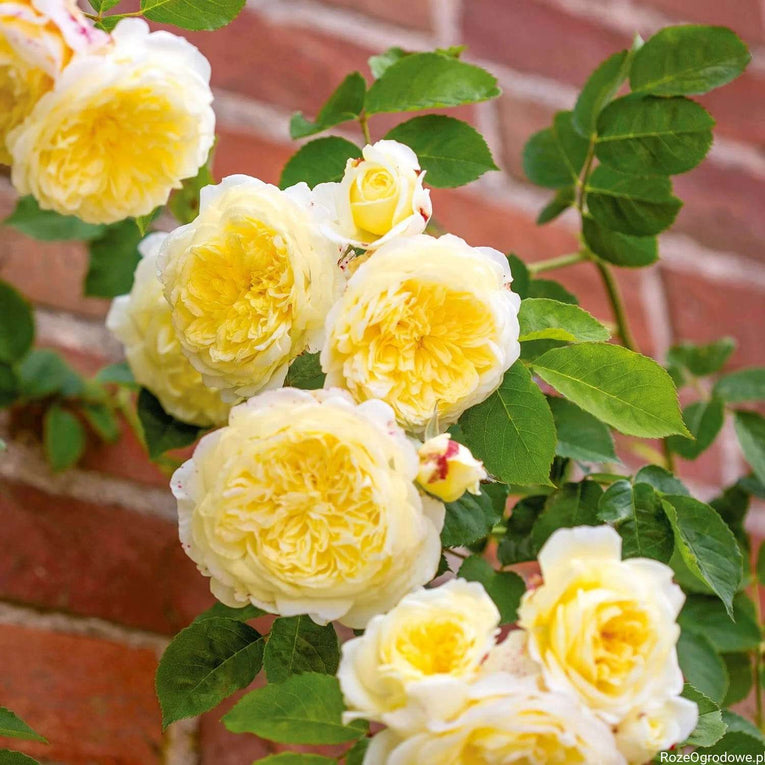 David Austin Rose The Pilgrim - English Climbing Rose, yellow flower