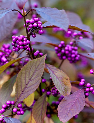Callicarpa bodinieri 'Profusion', purple berries