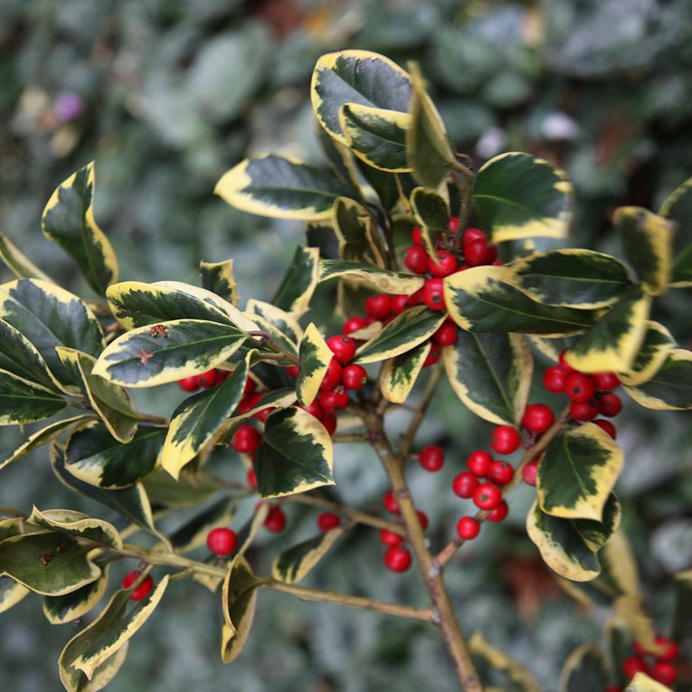 Ilex Altaclarensis 'Golden King', white flowers, red berries, shrub