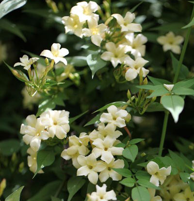 Jasminum off. 'Clotted Cream', yellow scented flowers