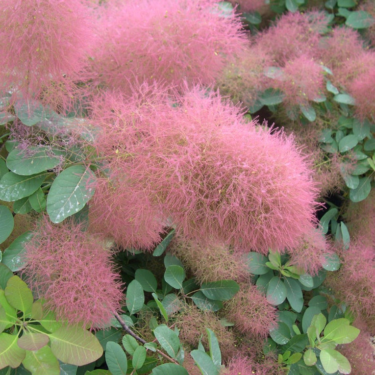 Cotinus 'Candy Floss', pink and green