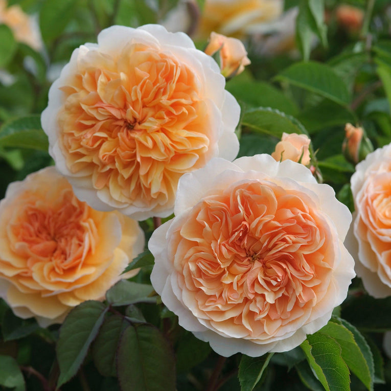 David Austin Rose Port Sunlight, apricot flowers