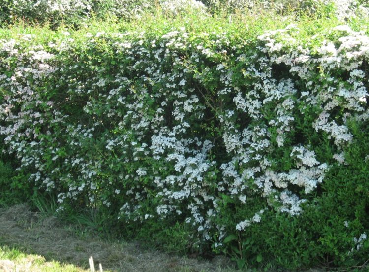 Hawthorn Bare-Root Hedging