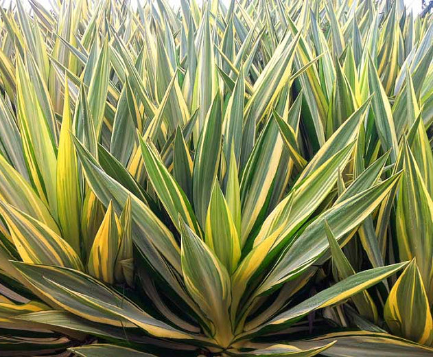 Yucca Filamentosa 'Colour Guard', green and yellow leaves