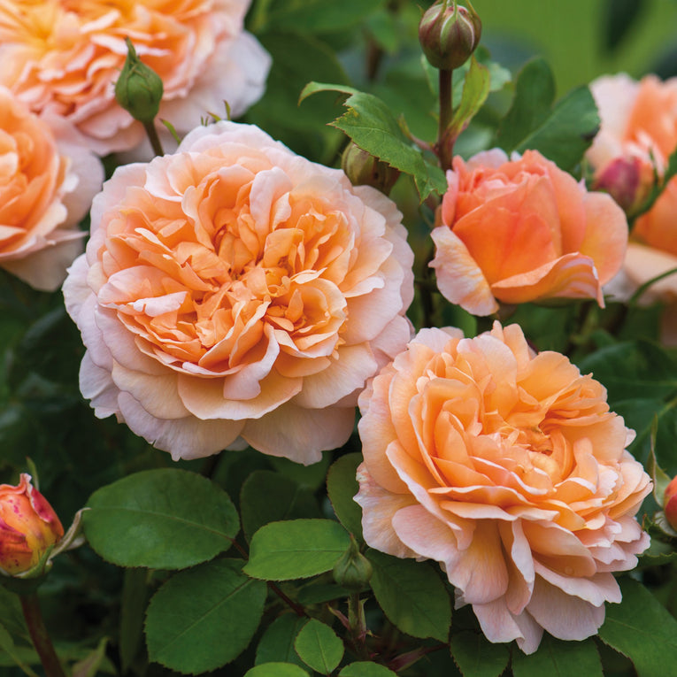 David Austin Rose The Lady Gardener, peachy orange flower