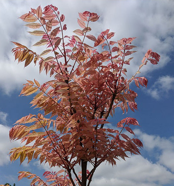 Toona Sinensis 'Flamingo', pink and yellow leaves