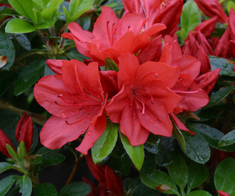 Azalea Torchlight - Orange Flower