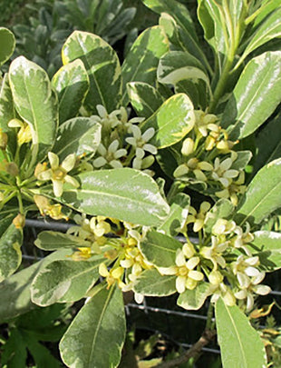 Pittosporum tobira 'West Acre Gold'