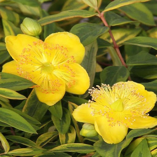 Hypericum Little Misstery, yellow flower