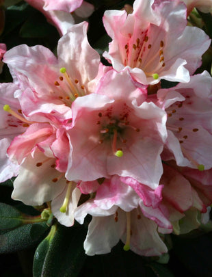 Rhododendron Wee Bee, pink and white flowers