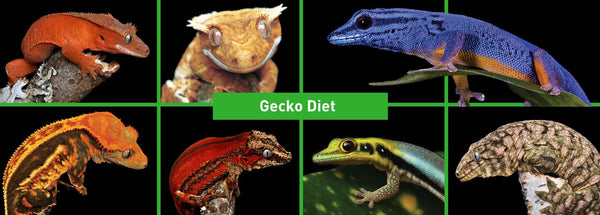 Grubs N Fruit Gecko Diet