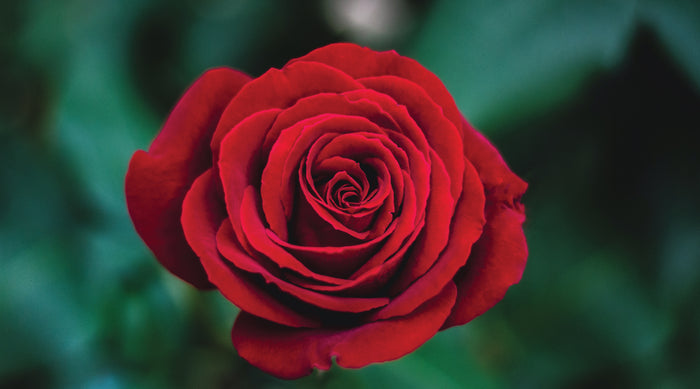 Red roses remain top choice on Valentine's Day