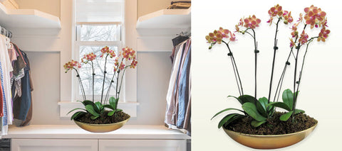 Phalaenopsis with Gold Round Pot